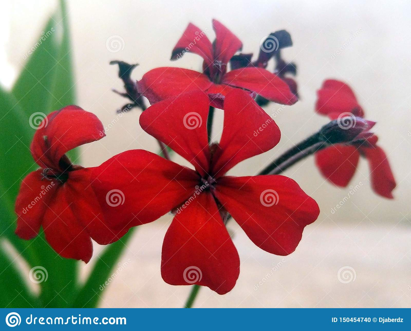 Red flowers with five petals