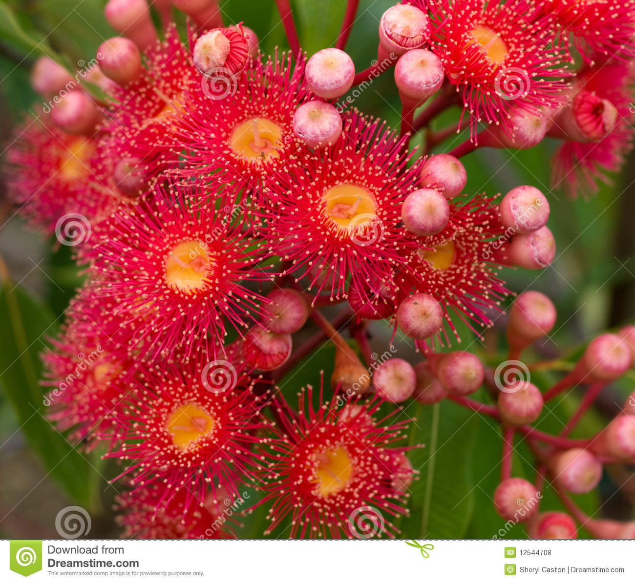 Red flowers of australian gum tree eucalyptus stock photo for Tree with red flowers