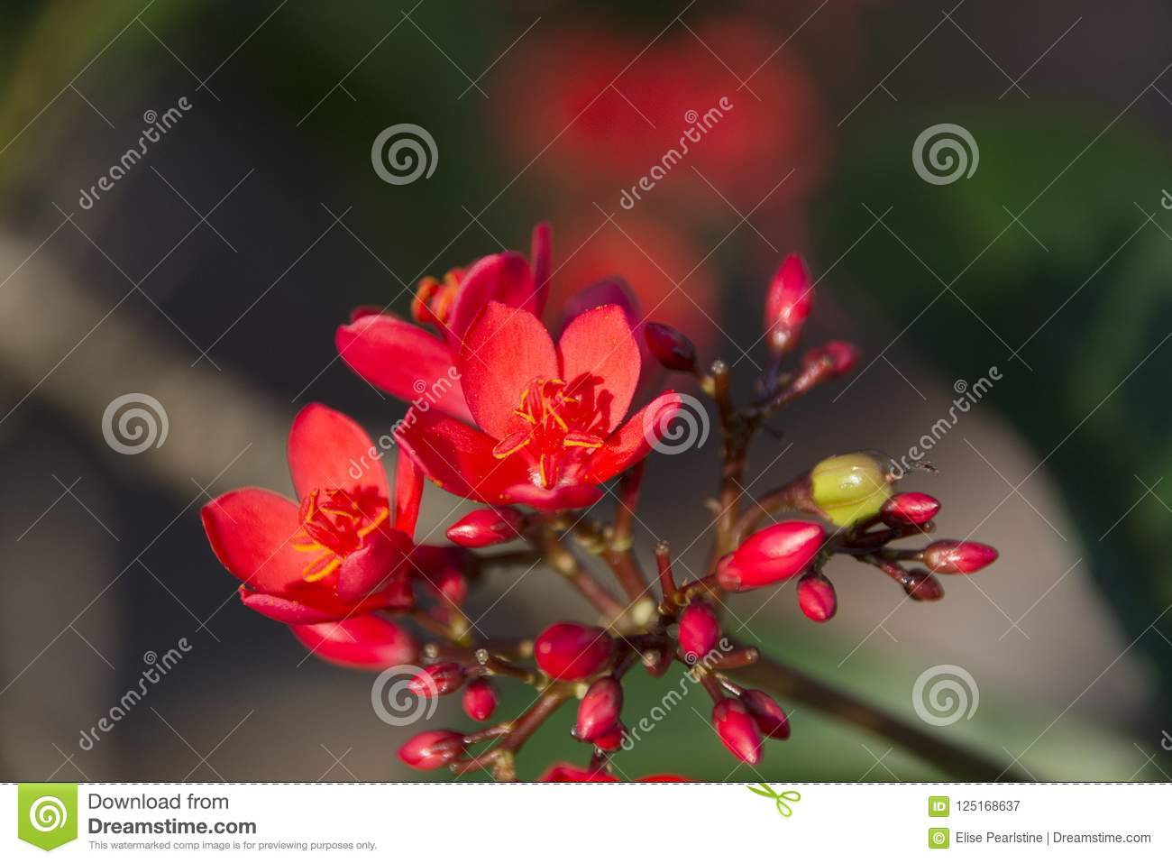 Red Flowers Of The Jatropha Tree With Buds And Yellow Stamens Stock