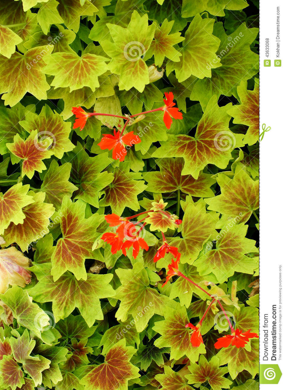 Red Flowers Among Leaves Stock Photo Image Of Ragtime 43633068