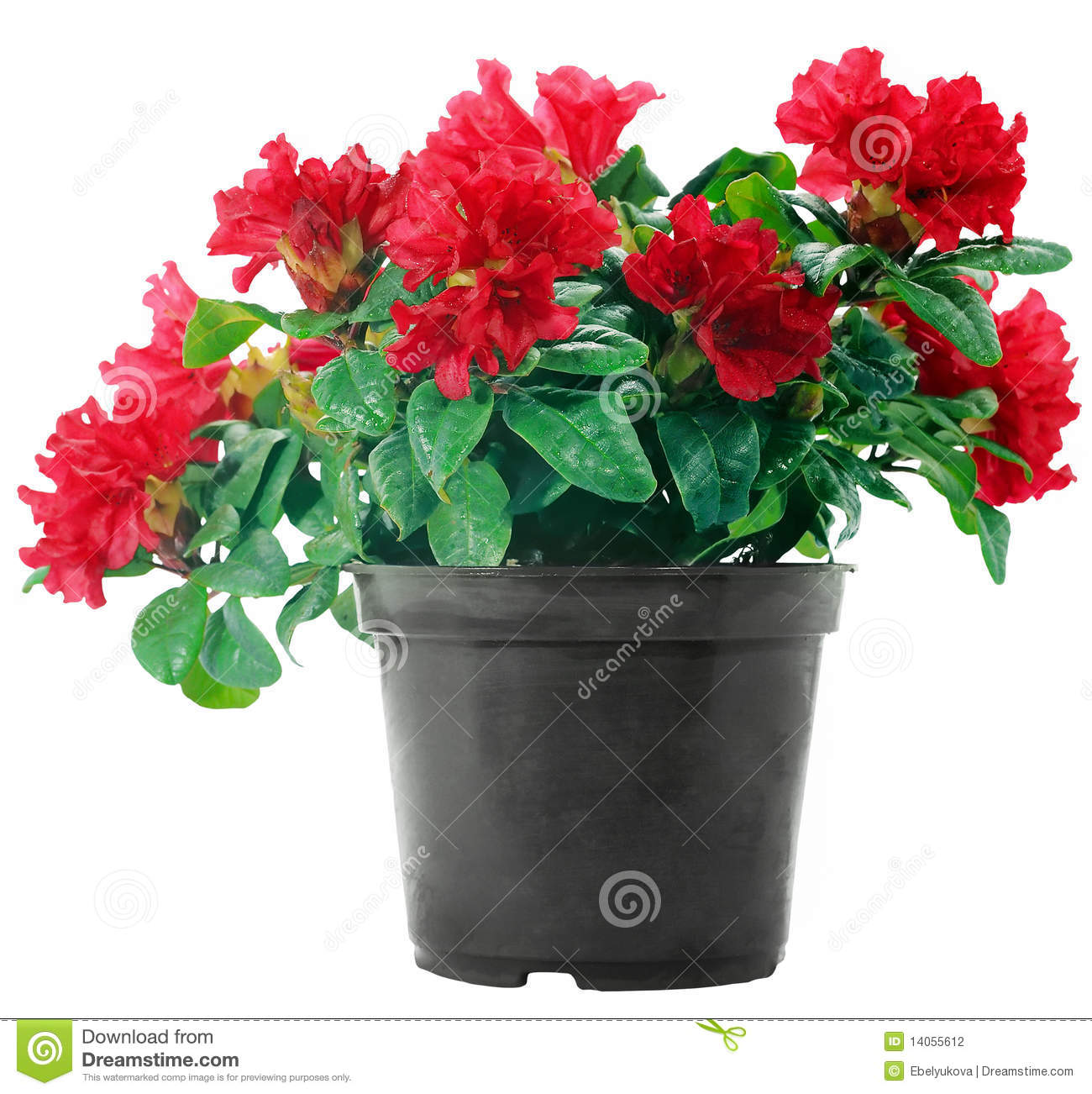 Red flowers in a plastic pot on white