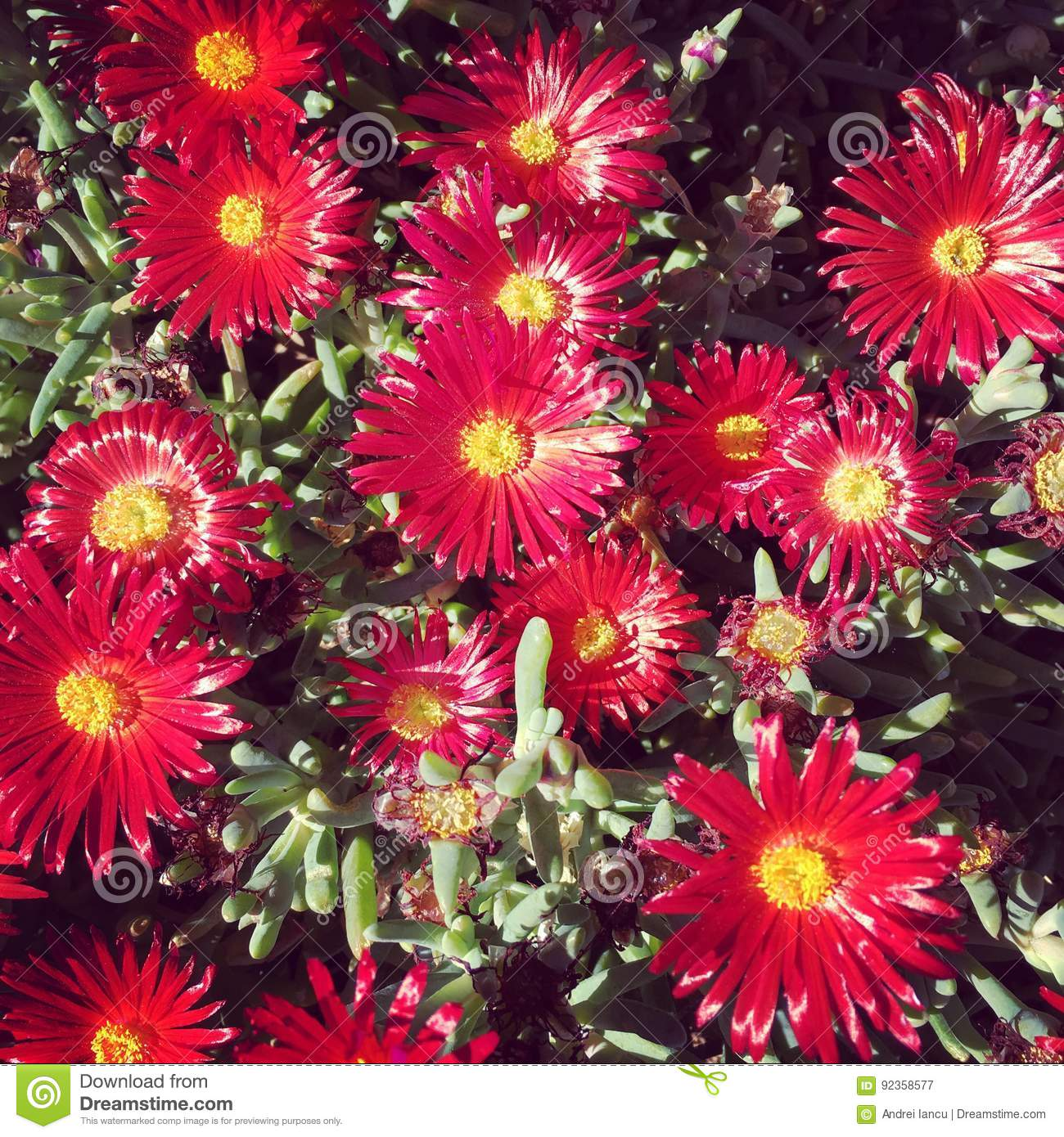 Red Flowers Stock Image Image Of Centers Panorama Yellow 92358577