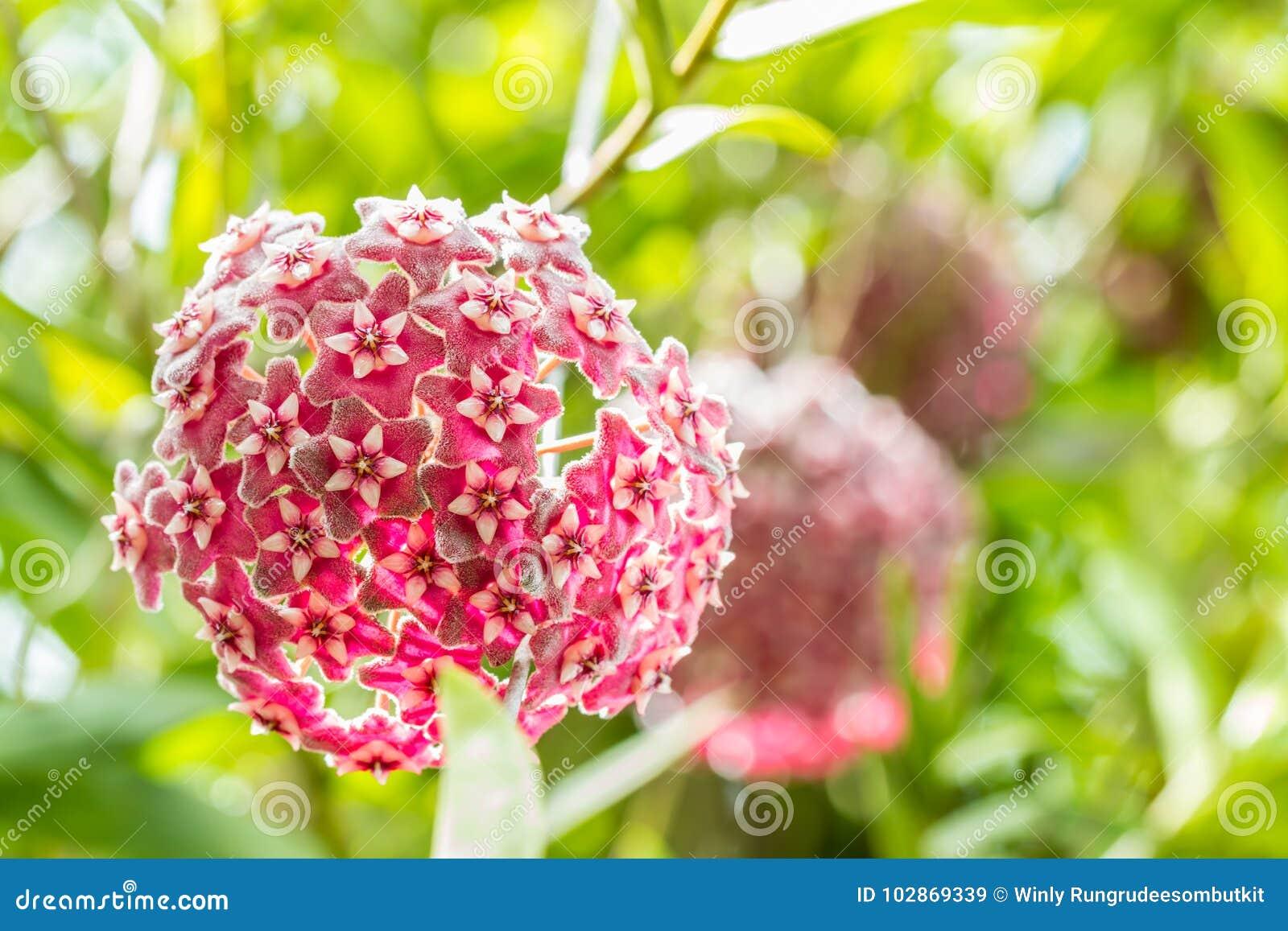 Red flowers, Wax plant, Hoya ovalifolia Wight & Arn.