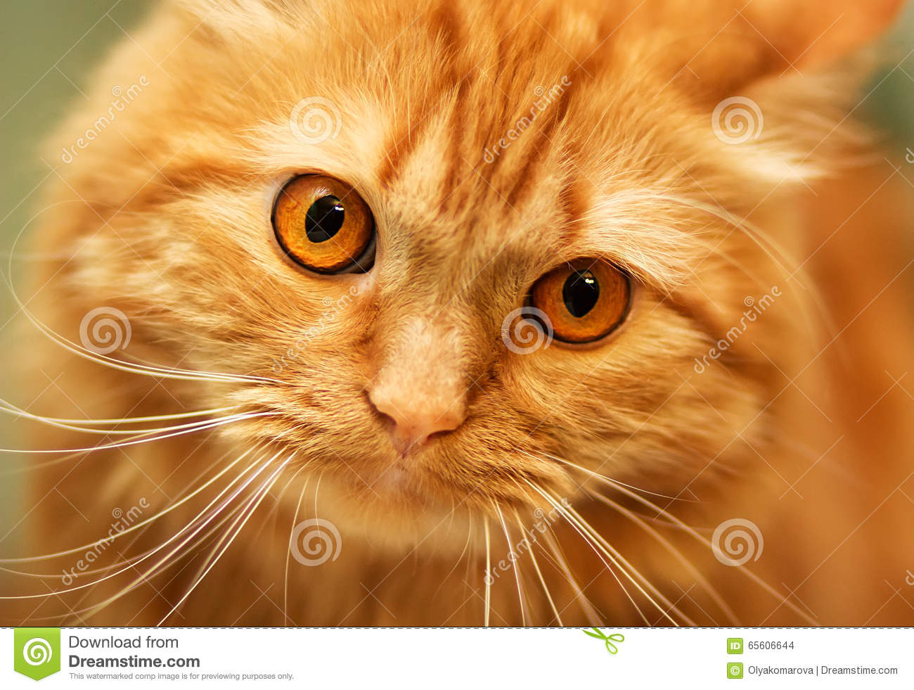 Red Fluffy Cat With Orange Eyes Stock Photo Image Of Fluffy Color 65606644