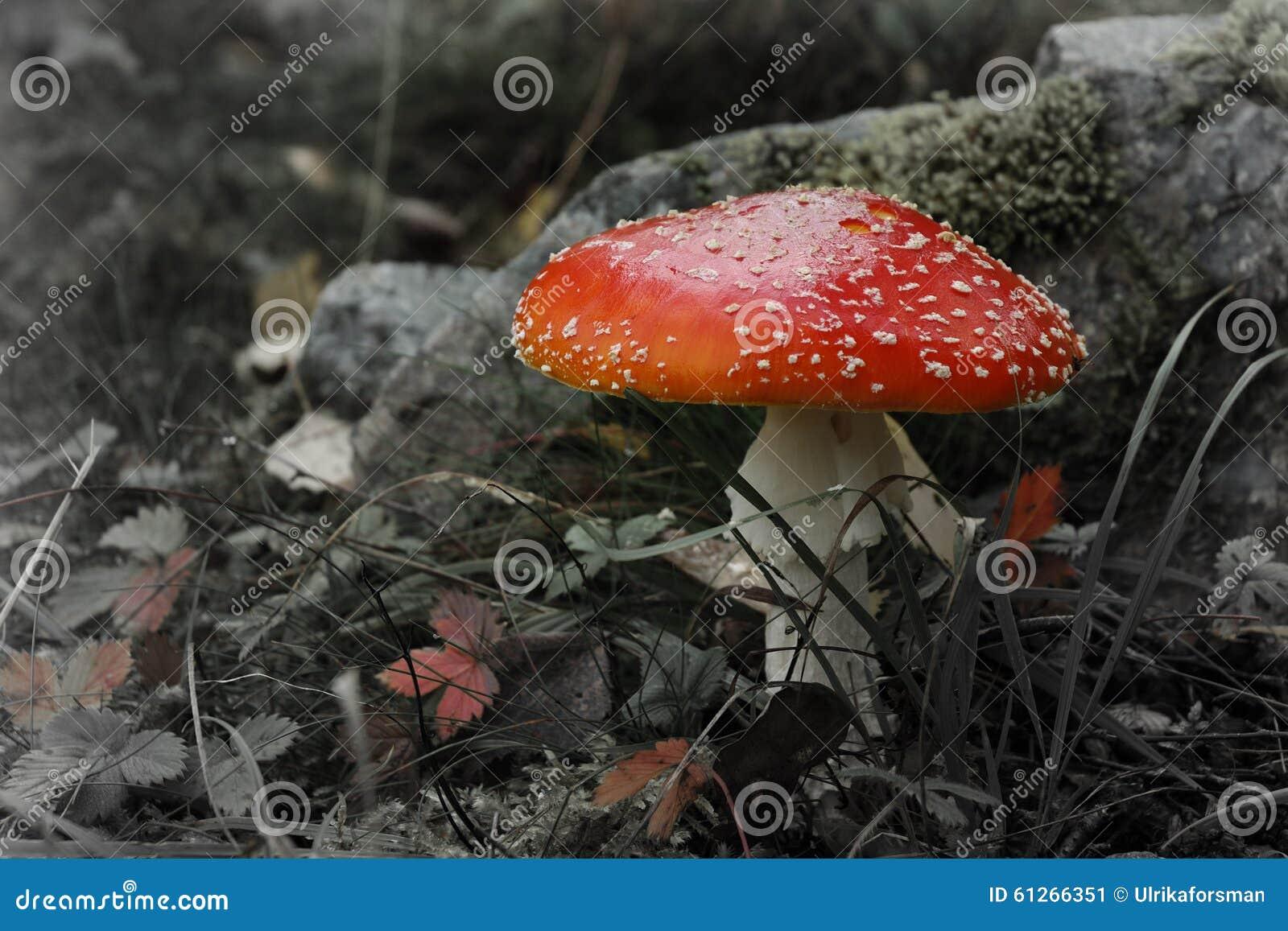 Red fly amanita poisonous mushroom