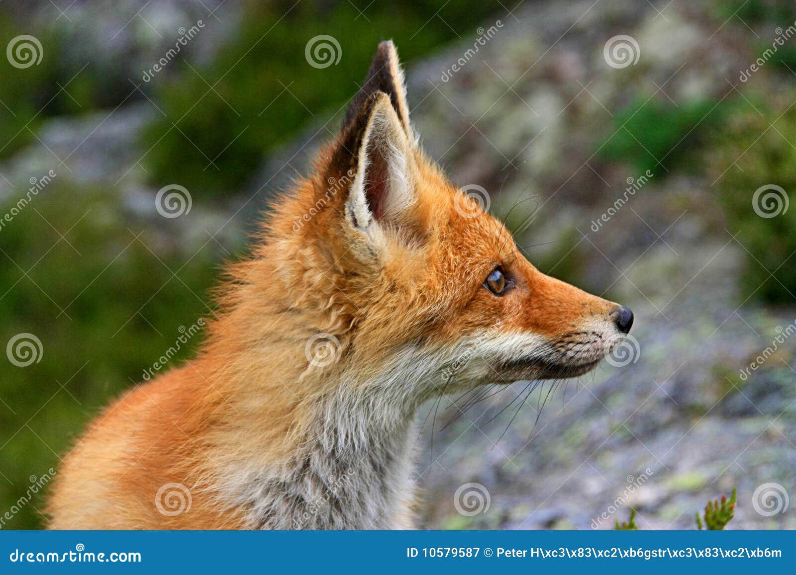 Red fox stock image. I...