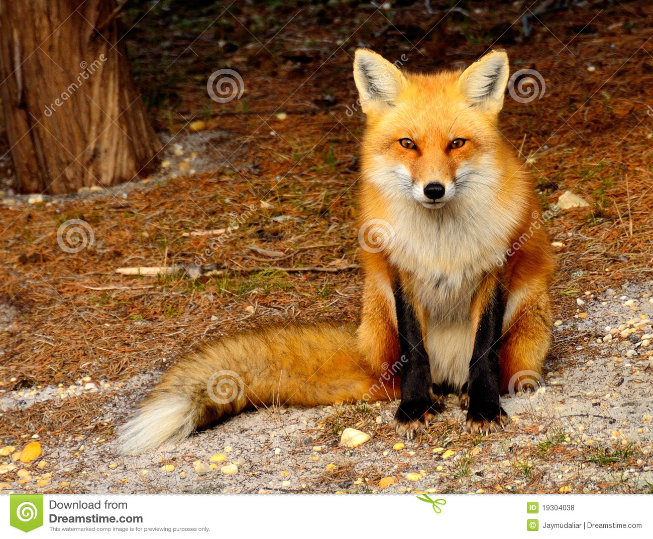 Red Fox Royalty Free Stock Photos - Image: 19304038