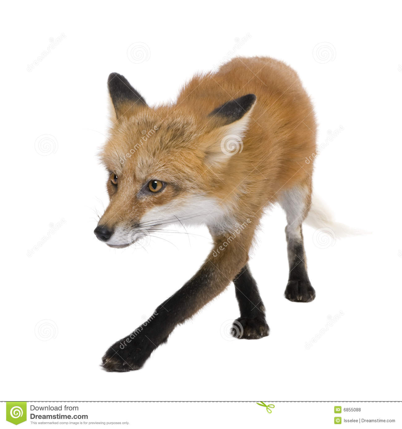 Red Fox 4 Years Vulpes Vulpes Royalty Free Stock Photos