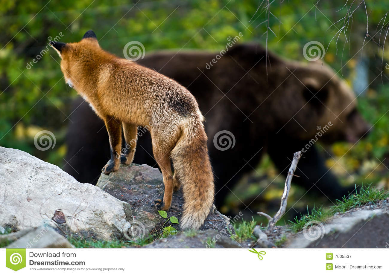 Red Fox And Brown Bear Stock Image Image Of Carnivore