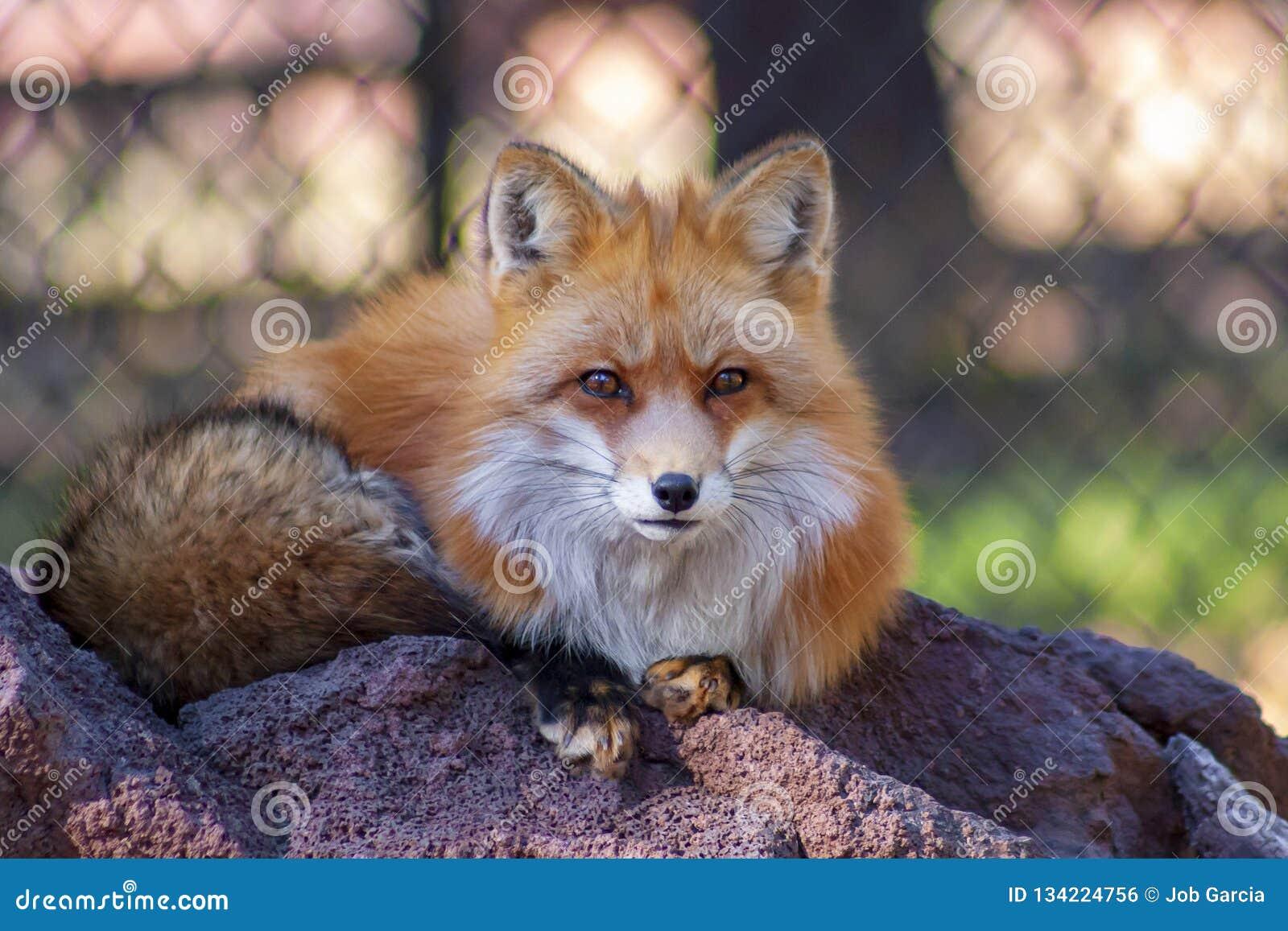 Red fox sitting o a rock