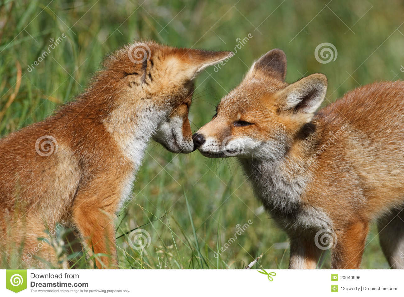 Royalty Free Stock Image  Red fox cubs playingRed Fox Cubs
