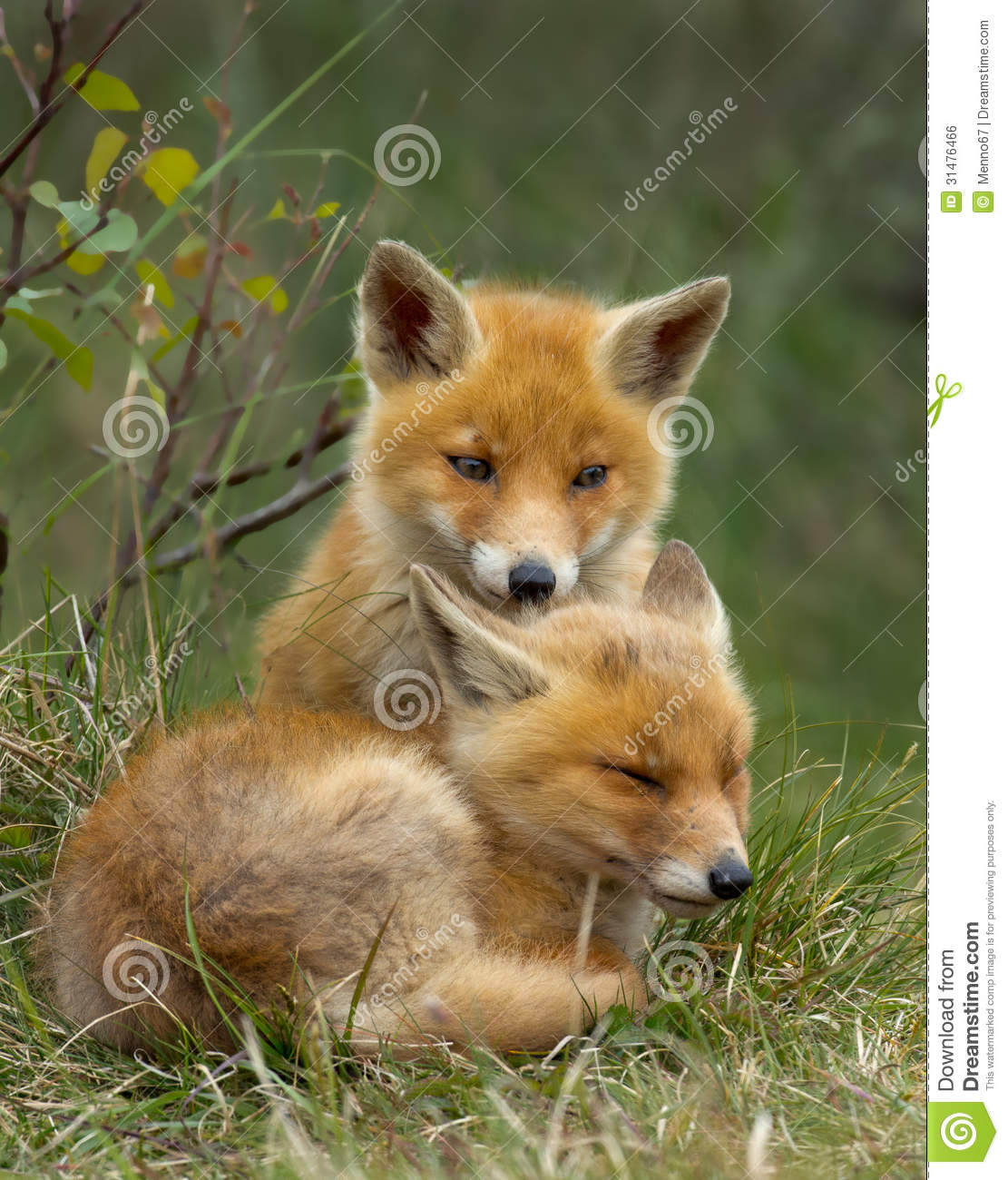 Two Red fox cubs snug against each other Red Fox Cubs