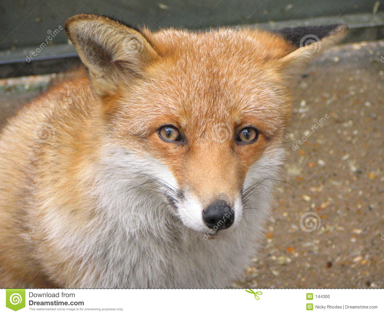 red fox face and - photo #17