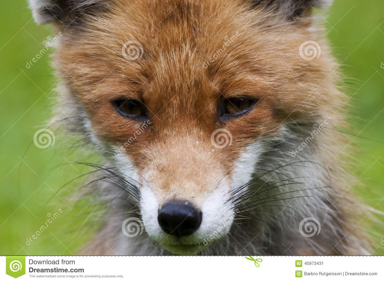 Red Fox Face Stock Photo - Image: 45973431