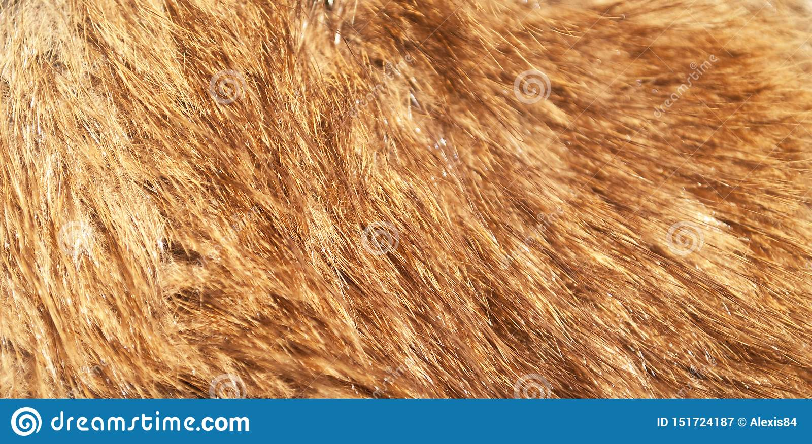 Red fox fur macro shot