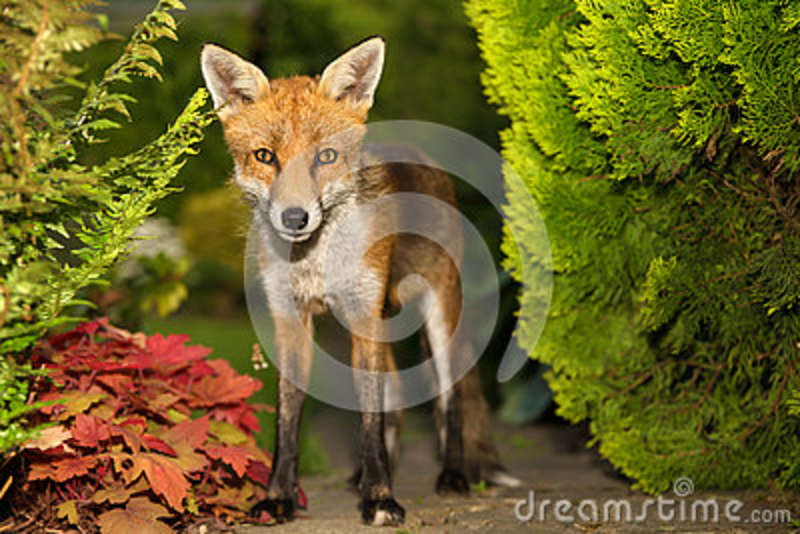 Red fox in the garden