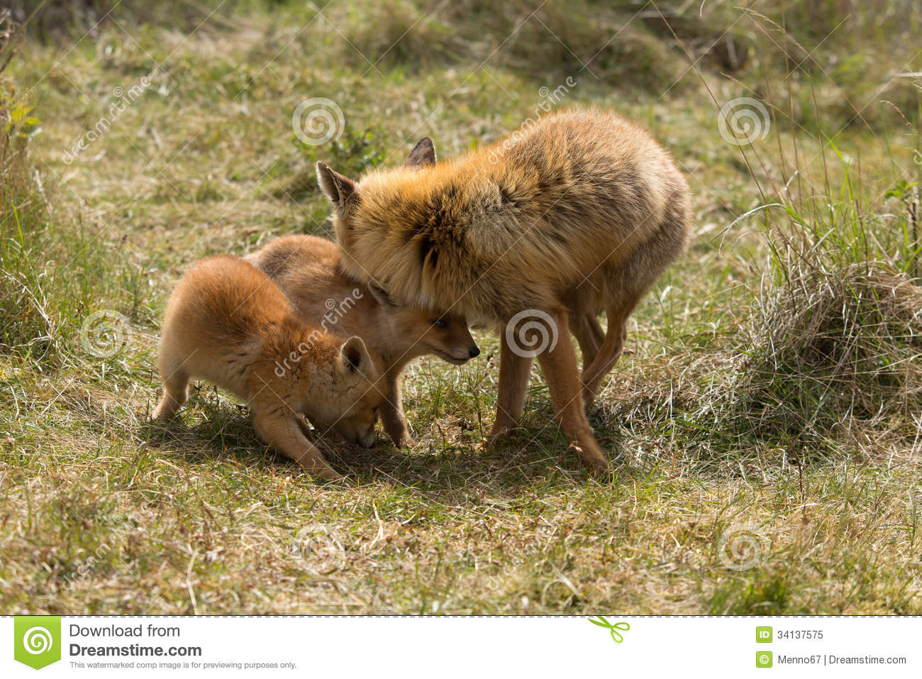 A mother red fox cuddles her baby Stock Photo, Royalty Free Image ...