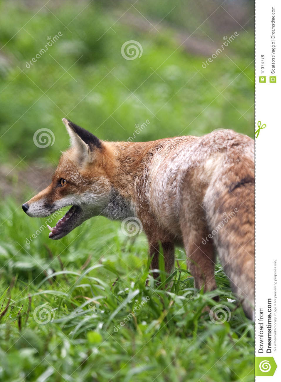 Red Fox (Vulpes vulpes) hunting in spring in the alpine prairie.
