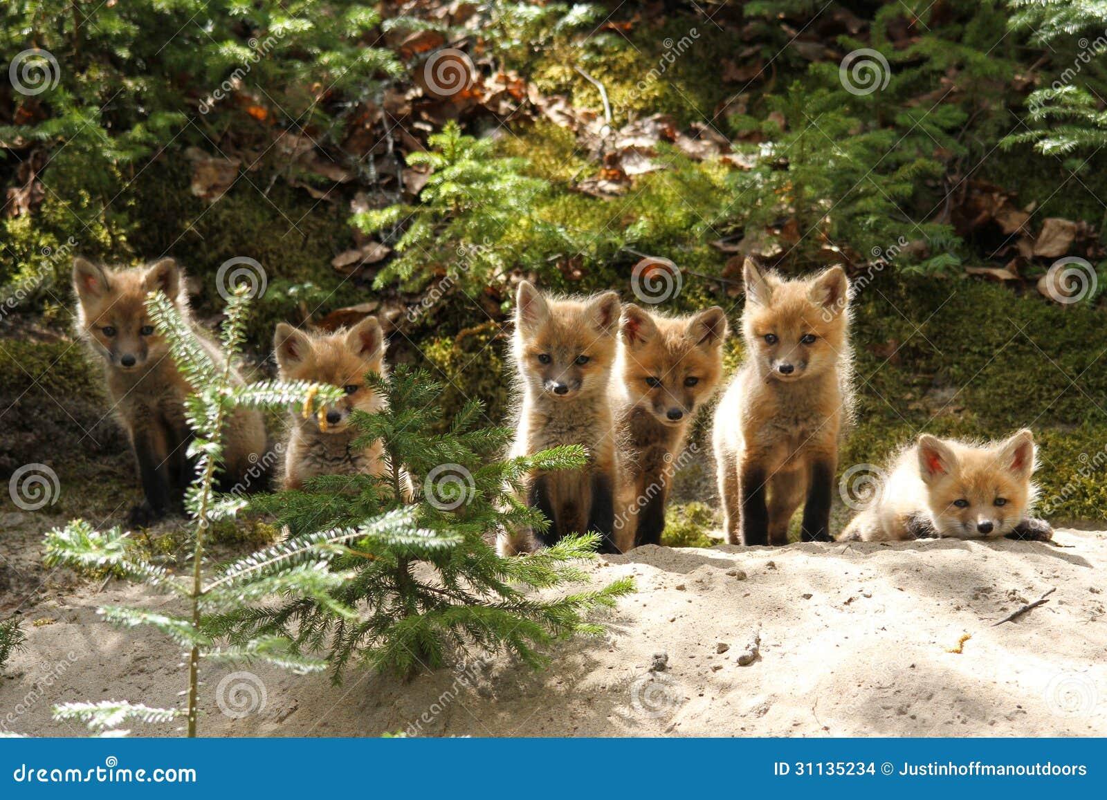 Red Fox Baby Kits