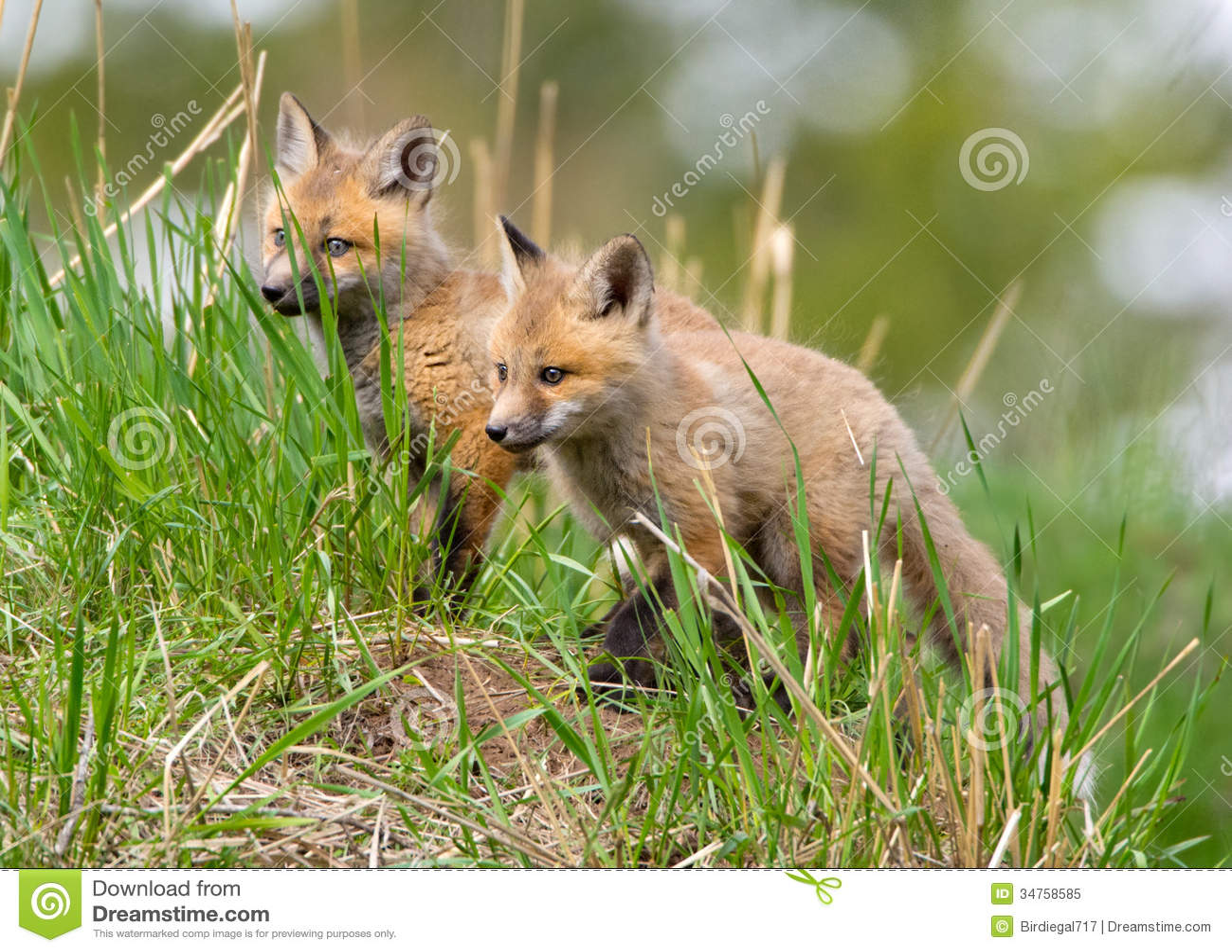 Red Fox Kits. Yellowstone National Park