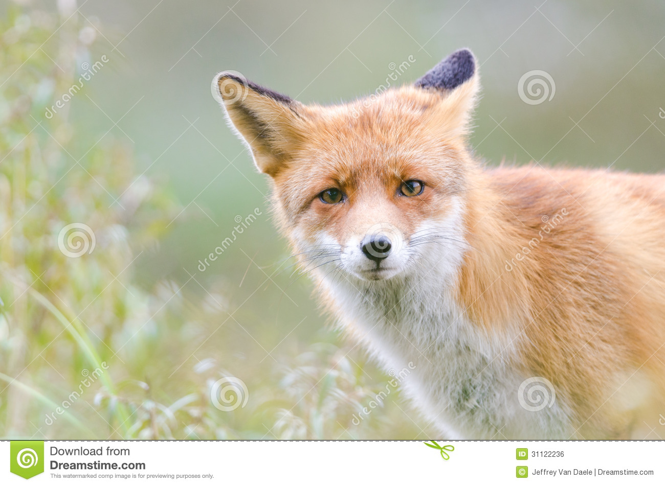 Royalty Free Stock Photos Free Red Fox Royalty Free Stock