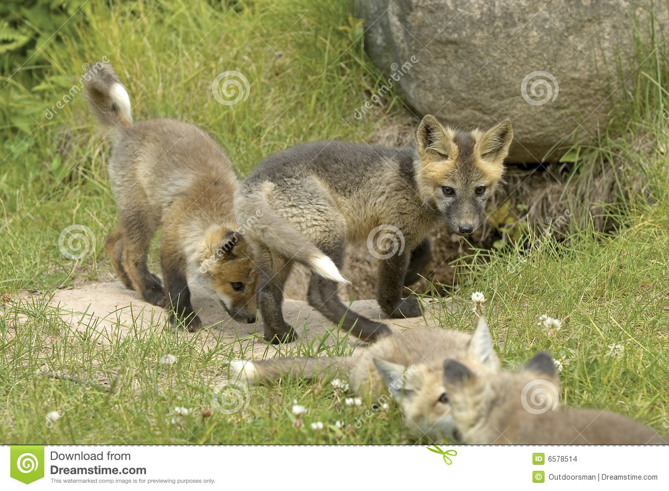 Red fox pups stock photo. Image of cute, small, young ...