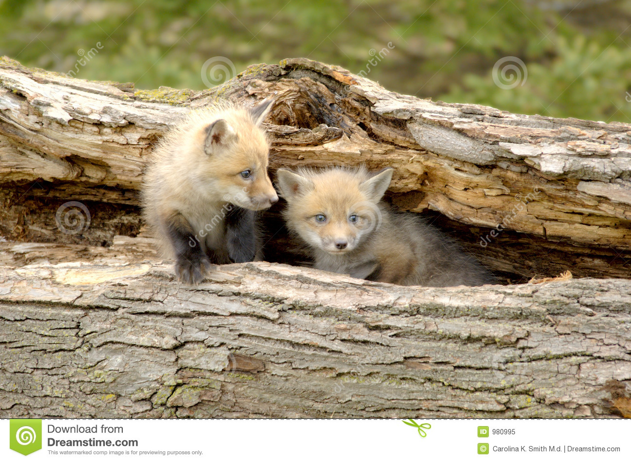 Red Fox Pups Duo - Vulpes vulpes