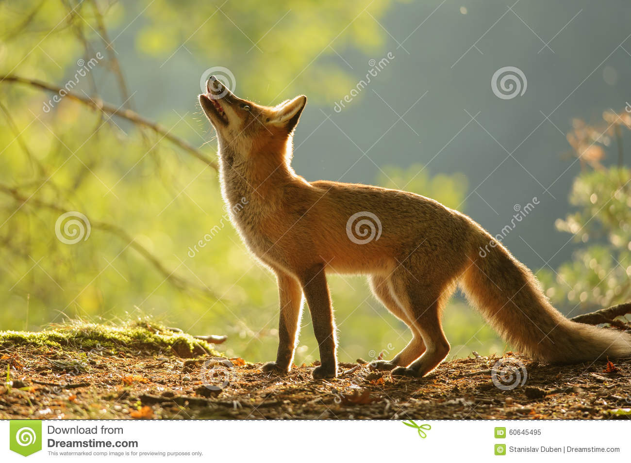 Red Fox From Side In Beauty Autumn Backllight Stock Photo ...