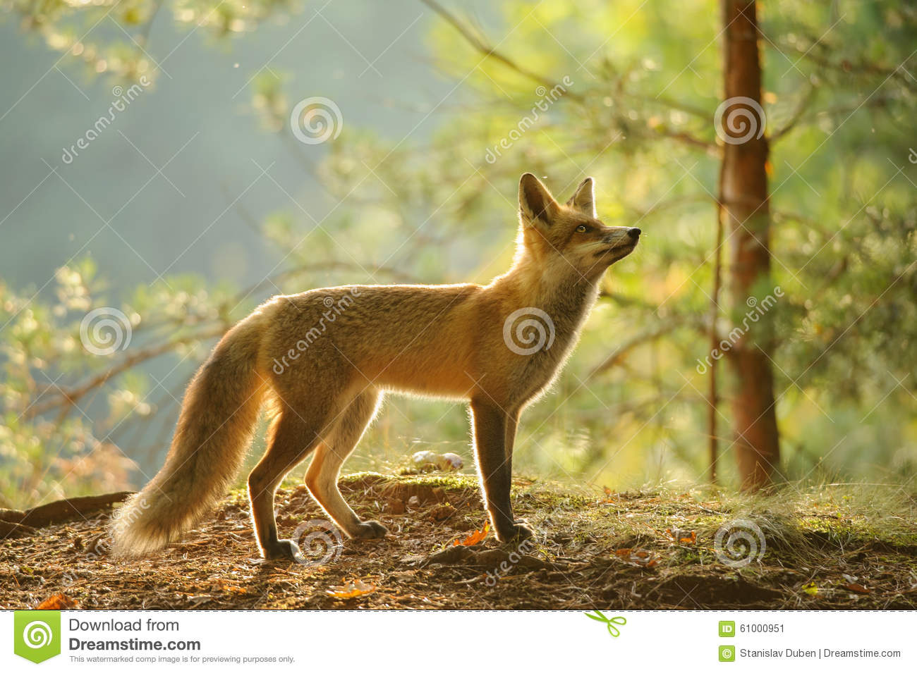 Red Fox From Side View...