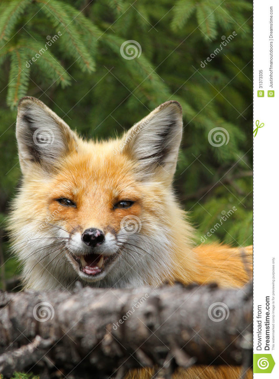 Red Fox Smiling Royalty Free Stock Photo Image 31373335