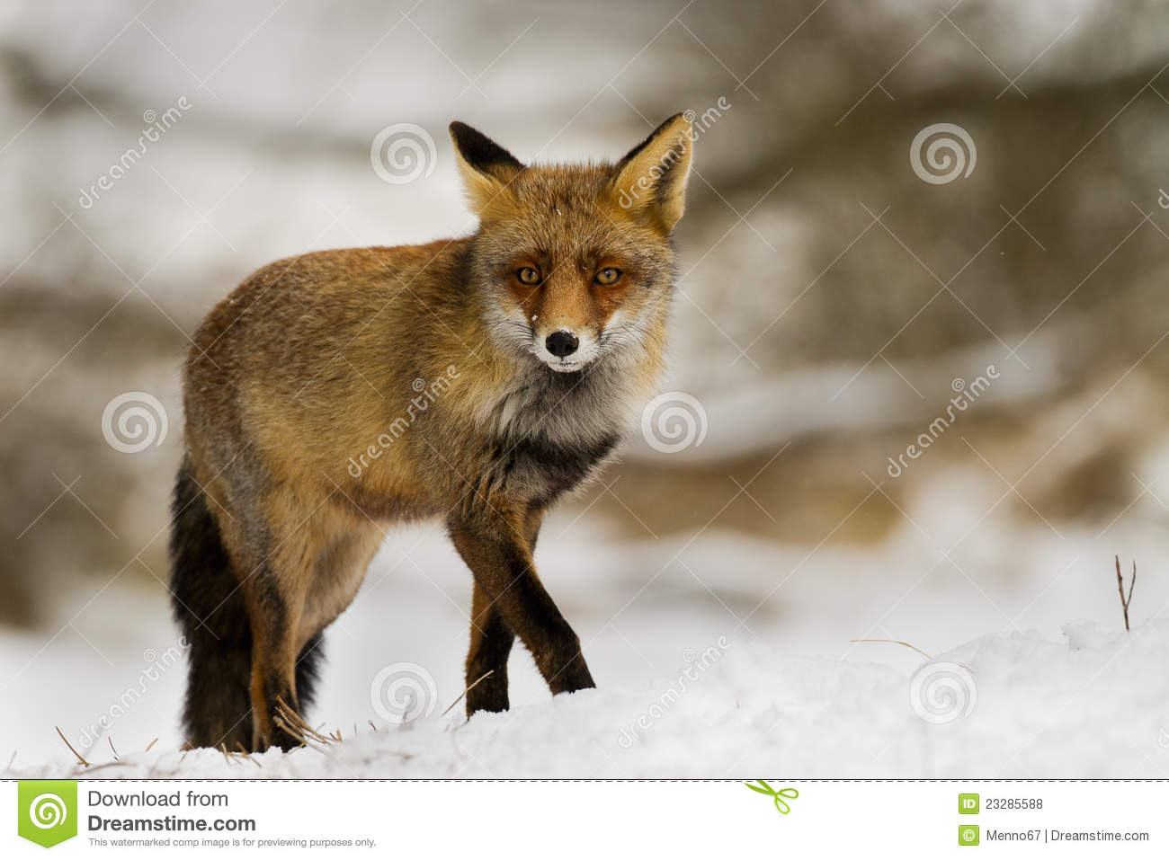red fox in snow - photo #41