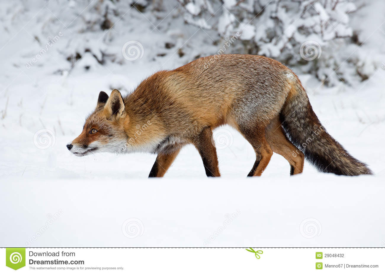 red fox in snow - photo #9