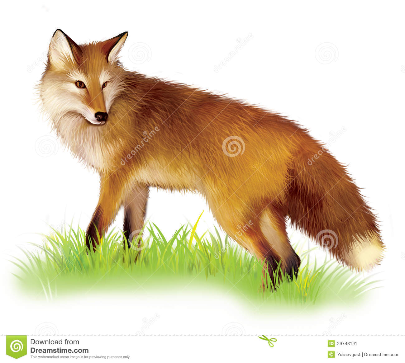Adult Shaggy Red Fox Standing In The Grass Stock Image