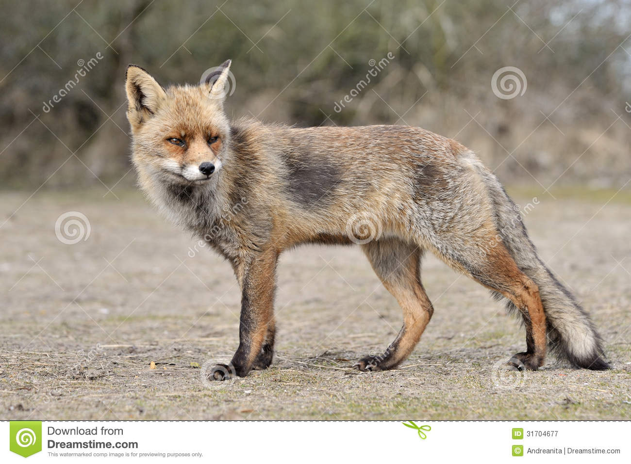 Red fox standing  side...