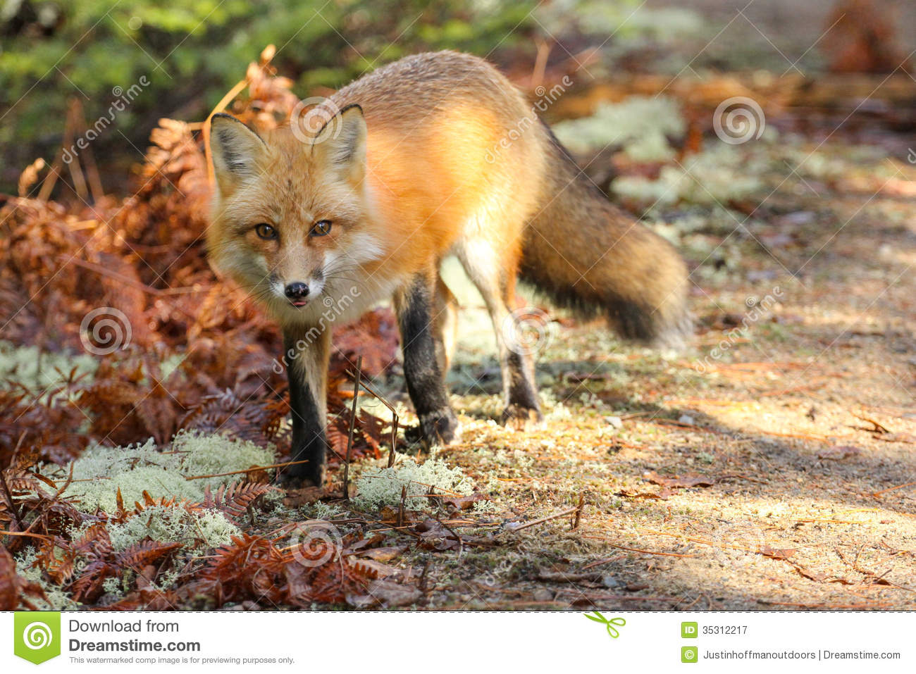 Red Fox Royalty Free Stock Photography Image 35312217