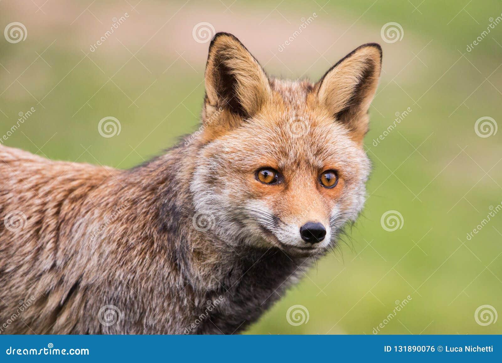Red Fox (Vulpes vulpes) staring at camera, Andalucia, Spain royalty free stock image