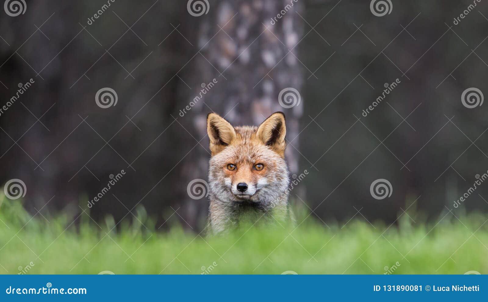 Red Fox (Vulpes vulpes) staring at camera, Andalucia, Spain stock image