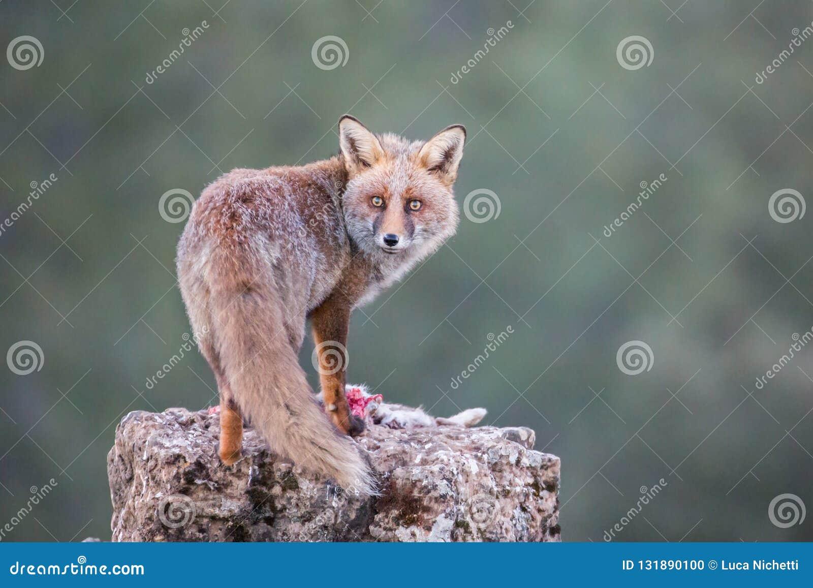 Red Fox (Vulpes vulpes) staring at camera, Andalucia, Spain stock photo