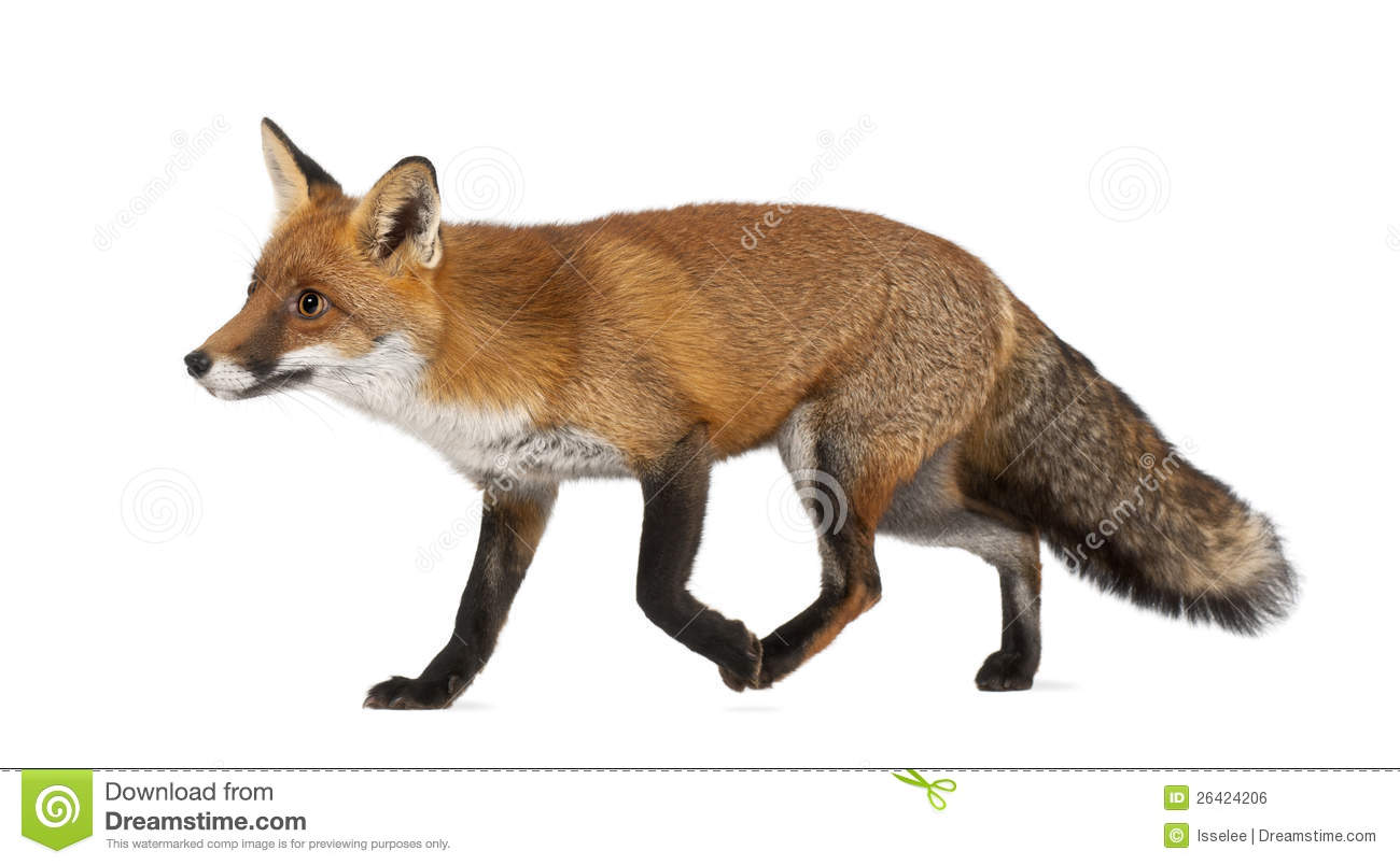 red fox walking against white background royalty free stock images