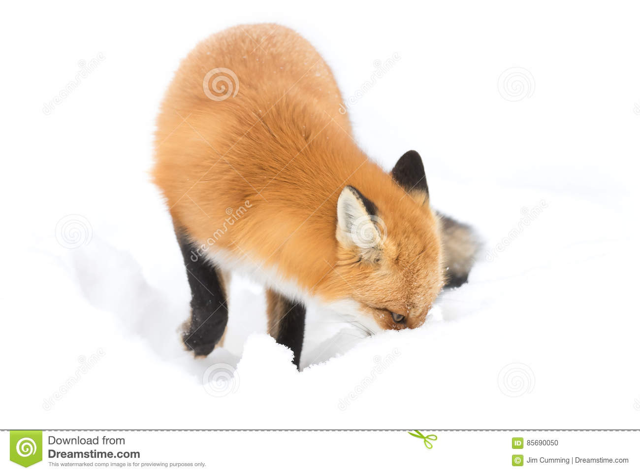Red fox (Vulpes vulpes) with a bushy tail isolated on white background hunting in the freshly fallen snow in Algonquin