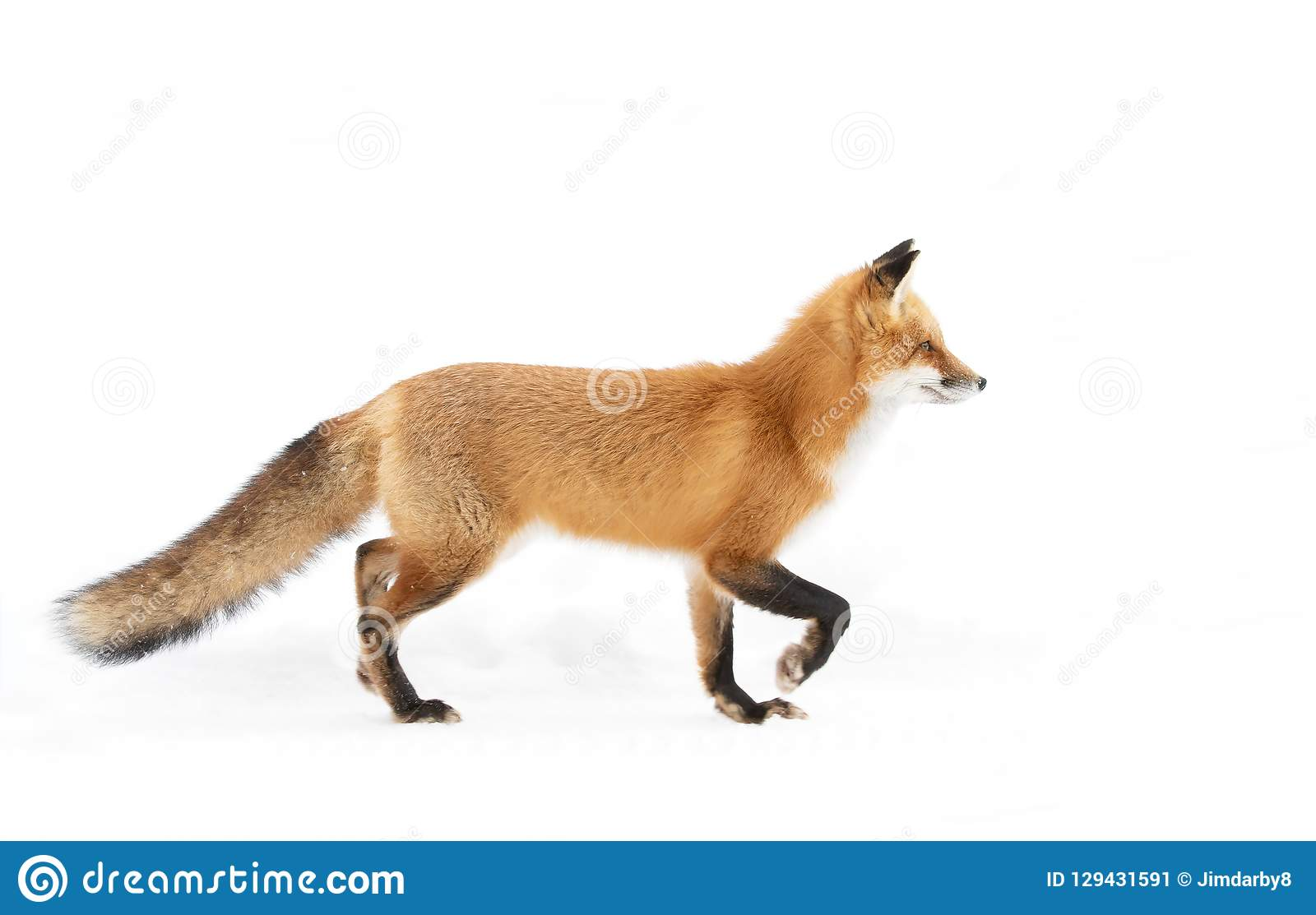 A Red fox Vulpes vulpes isolated on white background with bushy tail hunting through the freshly fallen snow in Algonquin Park i