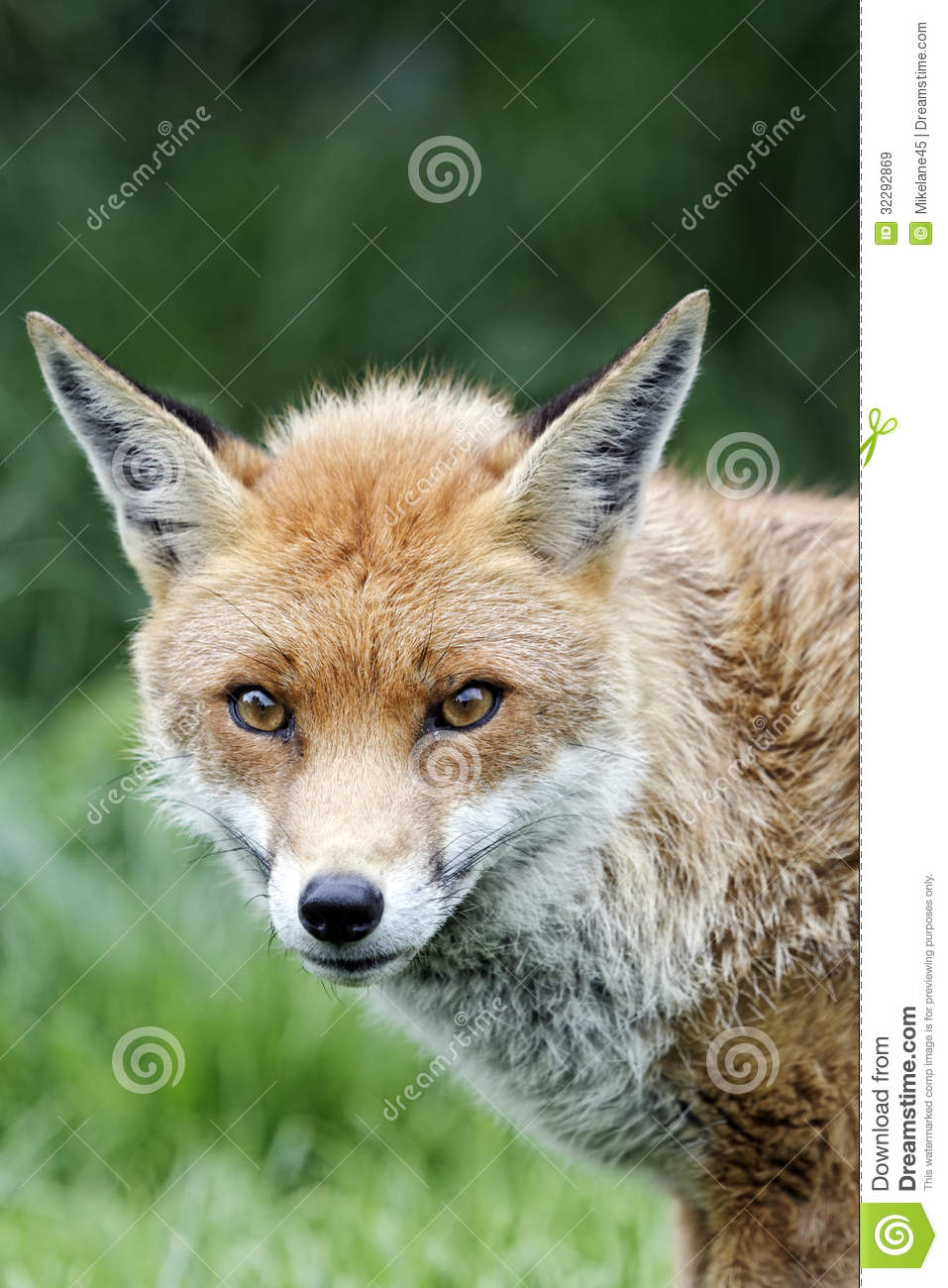 single men in redfox The red fox (vulpes vulpes) single components with single frequency band possible natural harmonics frequency rises, then falls seeking contact.