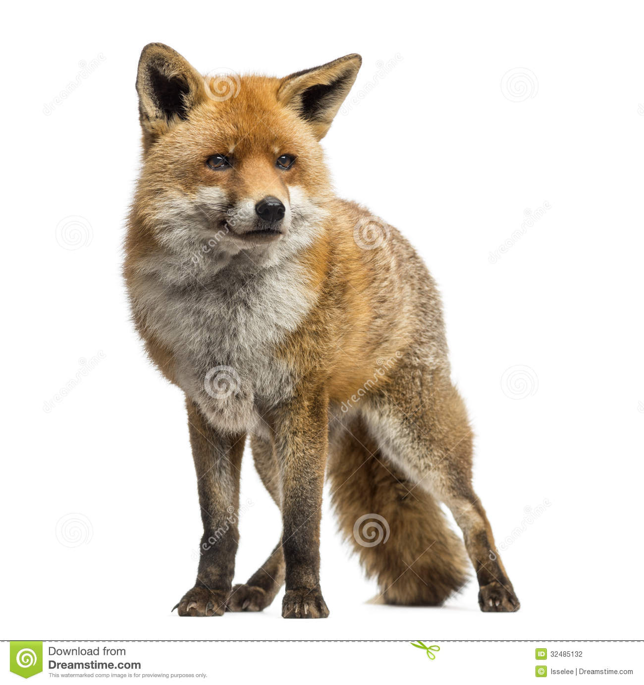 Red Fox Vulpes Vulpes Standing Isolated Stock