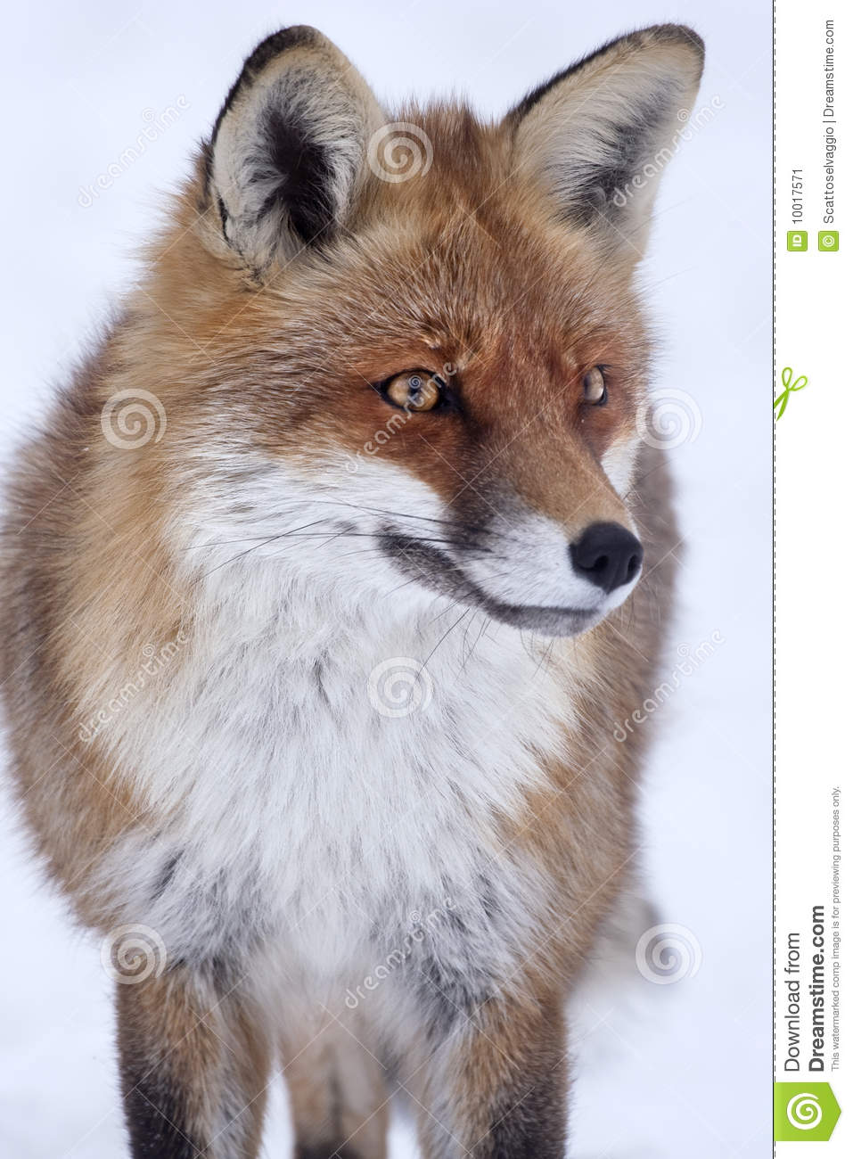 Red Fox (Vulpes vulpes) in winter. Red Fox (Vulpes vulpes) in the snow, white background, looking forward.