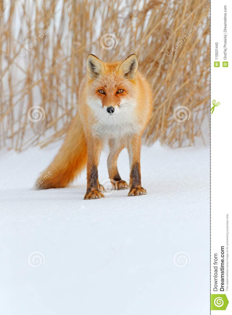 Red fox in white snow. Cold winter with orange fur fox. Hunting animal in the snowy meadow, Japan. Beautiful orange coat animal na