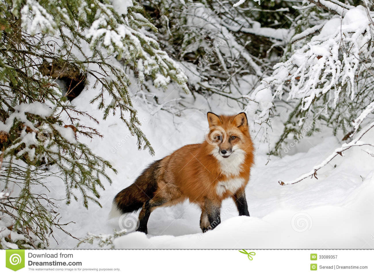 Red Fox In Winter Snow Stock Image Image Of Hunting