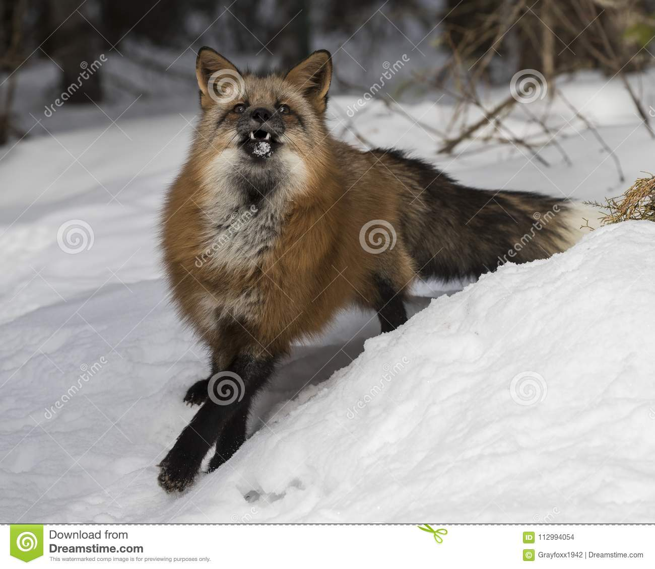 Red Fox With His Mouth Open Stock Photo Image Of Mammal Nose 112994054