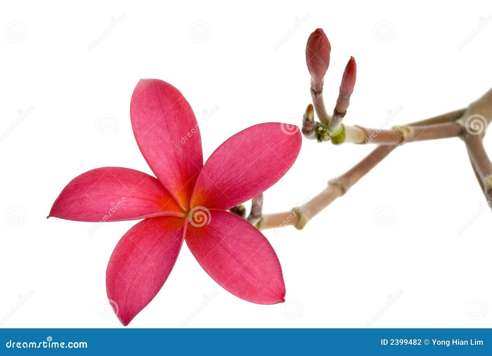Frangipani spa flowers stock photo image 14654190 - Red Frangipani Flower Stock Photography
