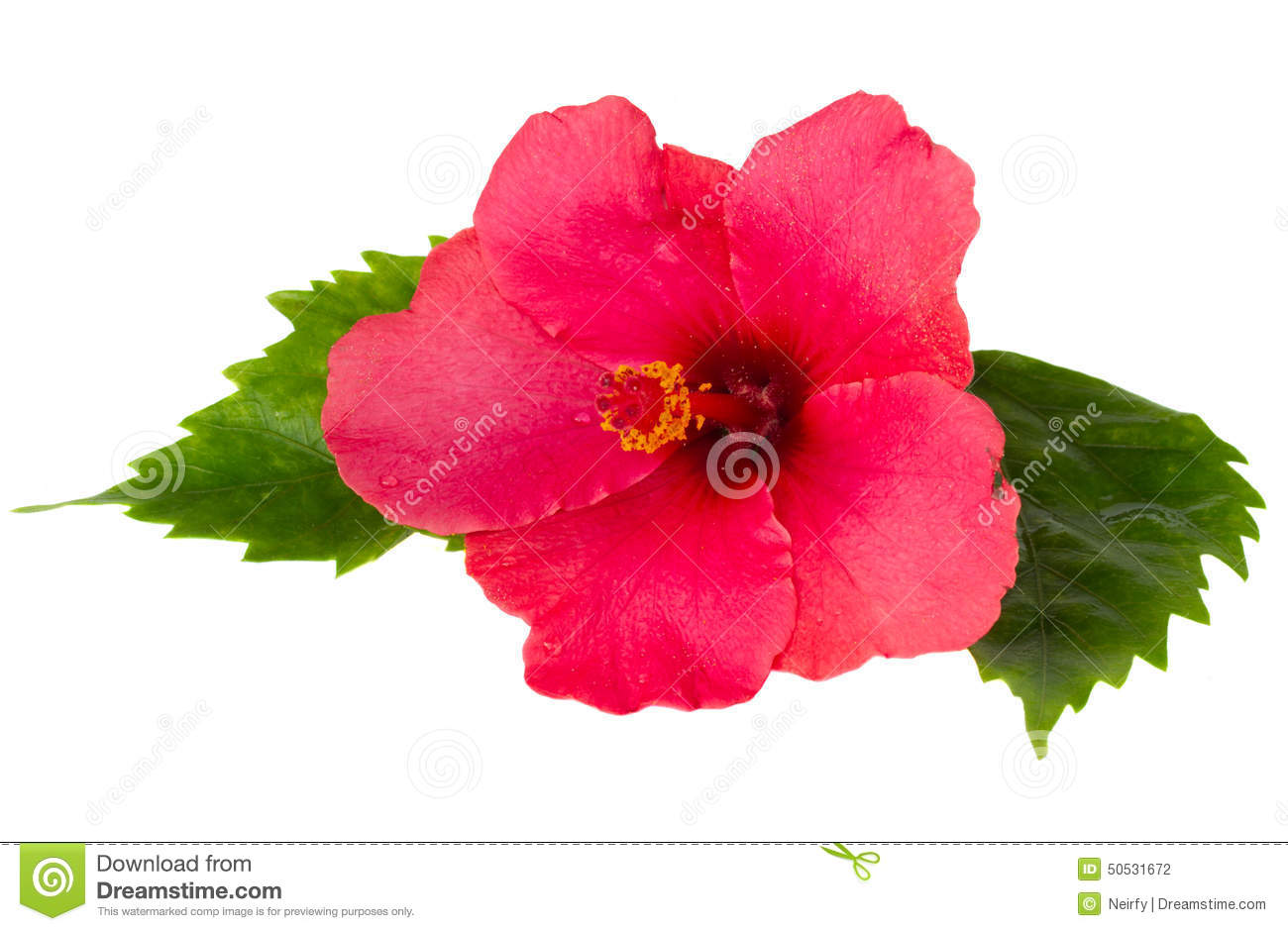 Red Fresh Hibiscus Flower With Green Leaves Stock Photo Image Of