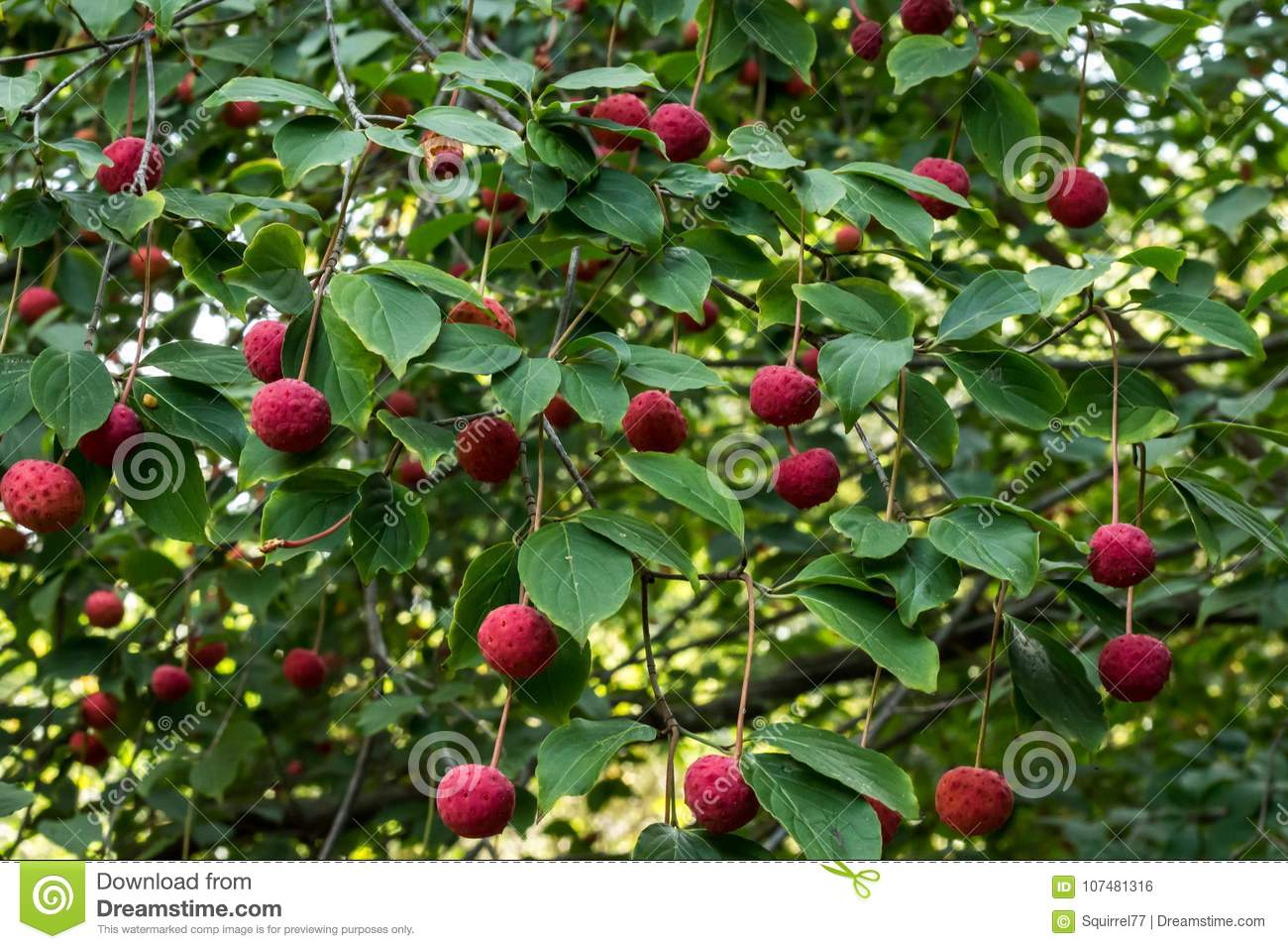 Red Fruit Berries On Dogwood Tree Against Green Leaves Stock Photo